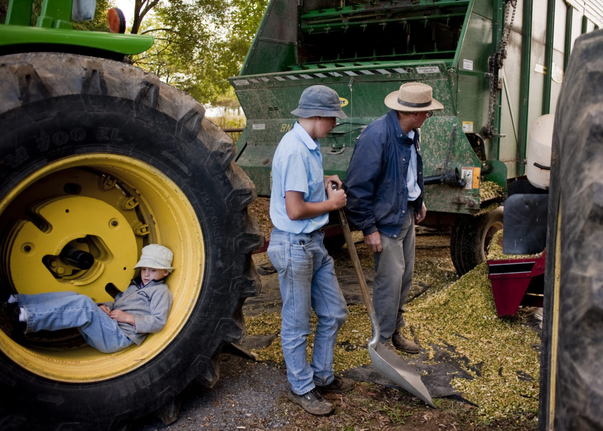 Old order Mennonite family cutting corn